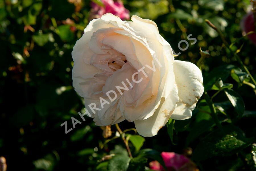 Růže velkokvětá Kordes 'Sebastian Kneipp' (KORpastato) - Rosa VK 'Sebastian Kneipp' (KORpastato)