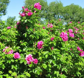 Růže svraskalá Tantau 'Hansa' - Rosa rugosa 'Hansa'