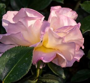 Růže velkokvětá Meilland 'Elle' - Rosa VK 'Elle'