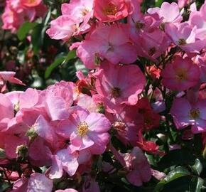 Růže mnohokvětá Meilland 'Phlox Meidiland' - Rosa MK 'Phlox Meidiland'