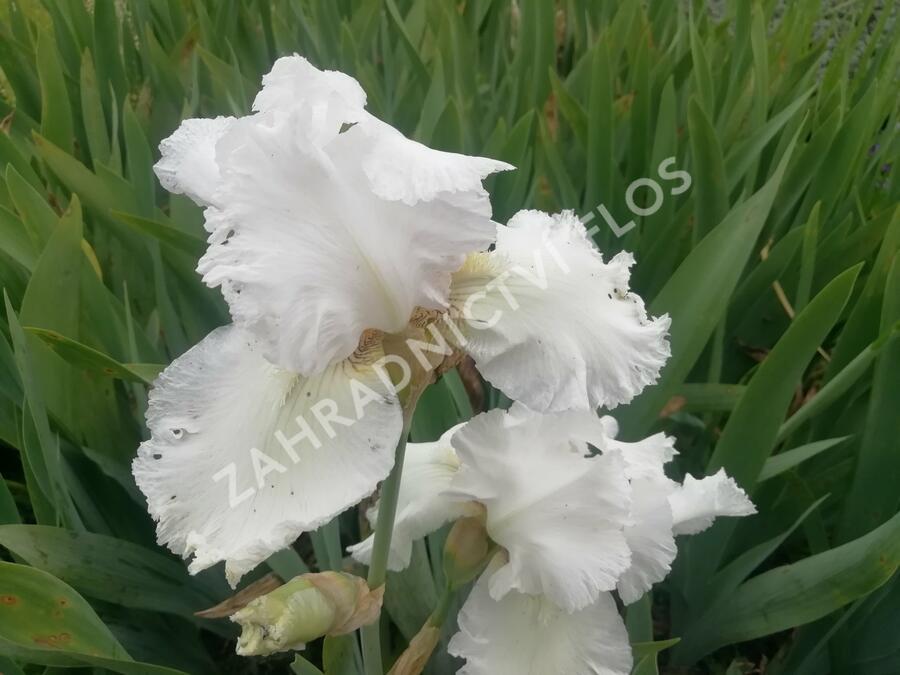 Kosatec německý 'Queen of India' - Iris barbata-elatior 'Queen of India'