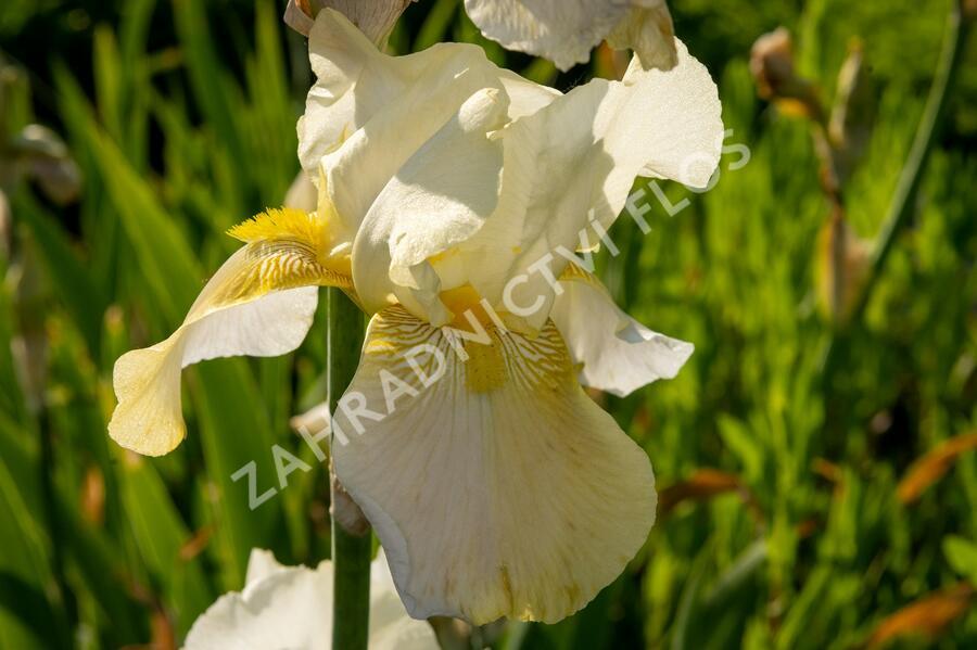 Kosatec německý 'Floriade' - Iris barbata-elatior 'Floriade'