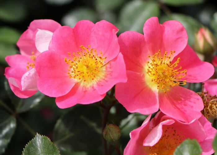 Růže půdopokryvná Kordes 'Topolina' - Rosa PK 'Topolina'