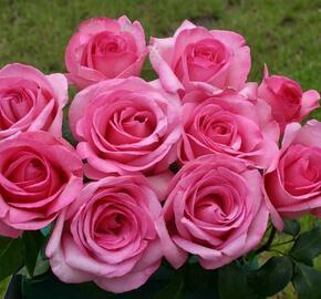 Růže velkokvětá 'Sweet Parole' - Rosa VK 'Sweet Parole'