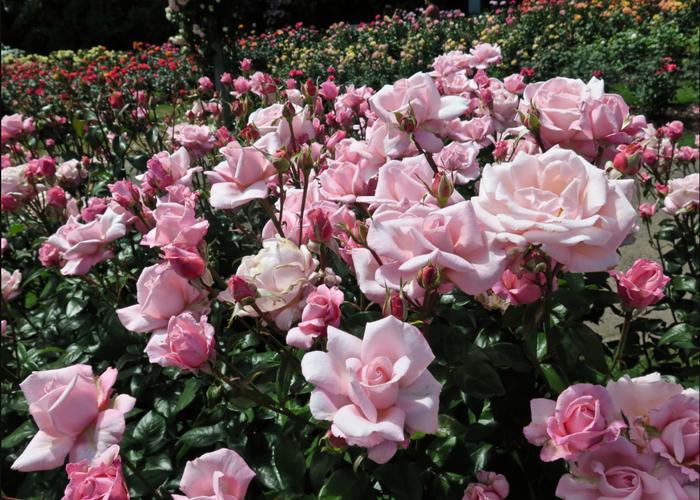 Růže velkokvětá 'New Zealand' - Rosa VK 'New Zealand'
