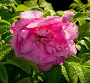 Růže svraskalá 'Rosa Zwerg' - Rosa rugosa 'Rosa Zwerg'