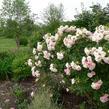 Růže svraskalá 'Polareis' - Rosa rugosa 'Polareis'