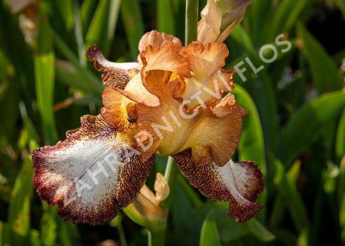Kosatec německý 'Pinup Girl' - Iris barbata-elatior 'Pinup Girl'
