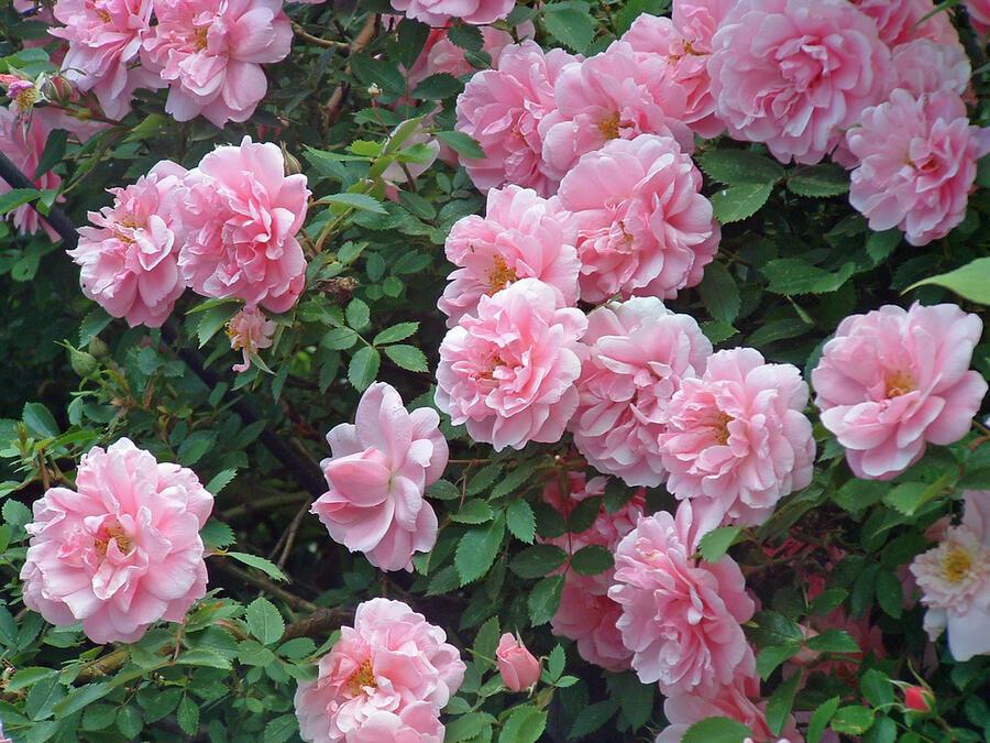 Růže pnoucí 'John Davis' - Rosa PN 'John Davis'