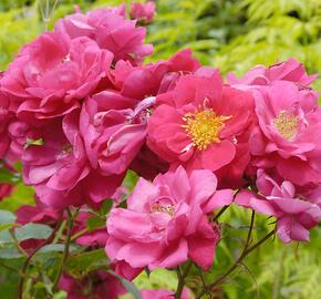 Růže parková 'Alexander MacKenzie' - Rosa S 'Alexander MacKenzie'