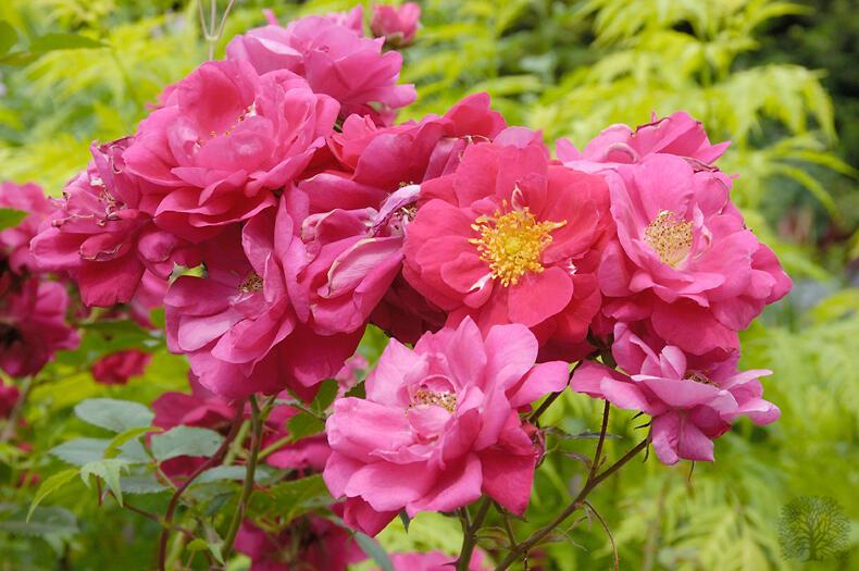 Růže pnoucí 'Henry Kelsey' - Rosa PN 'Henry Kelsey'
