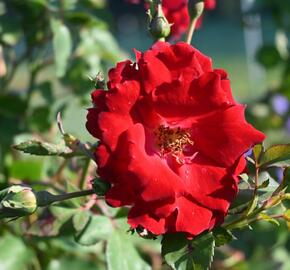 Růže parková 'Champlain' - Rosa S 'Champlain'