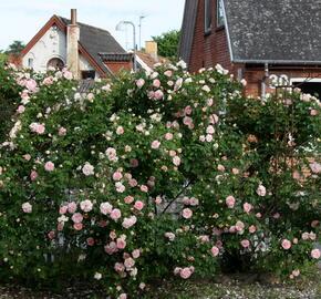 Růže parková 'Frühlingsduft' - Rosa S 'Frühlingsduft'