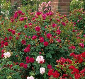 Růže parková 'Henri Martin' - Rosa S 'Henri Martin'