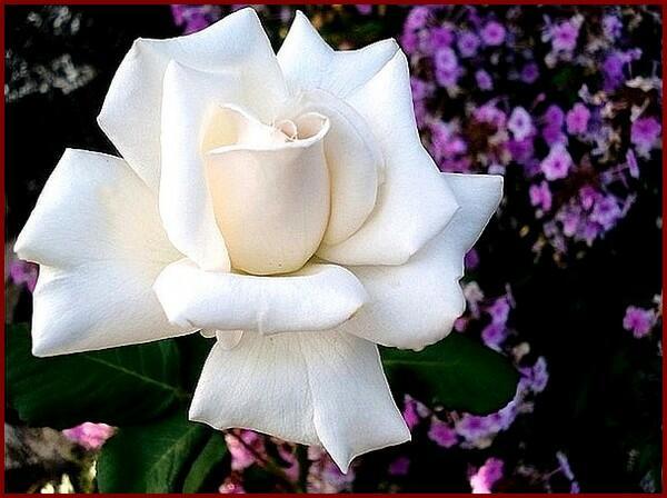 Růže velkokvětá 'Royal Philharmonic' - Rosa VK 'Royal Philharmonic'
