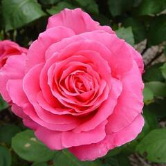 Růže velkokvětá 'Susan Hampshire' - Rosa VK 'Susan Hampshire'
