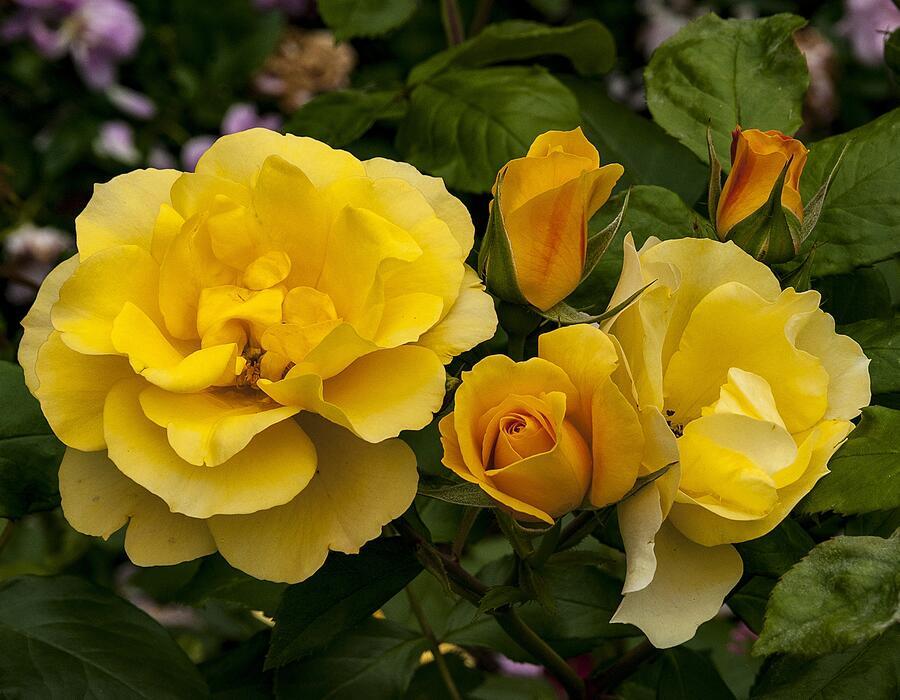 Růže velkokvětá Meilland 'Tequila Gold' - Rosa VK 'Tequila Gold'