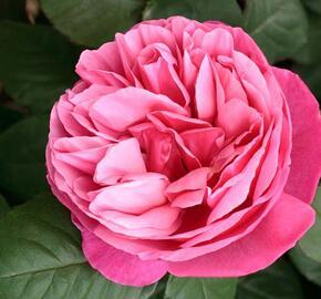 Růže velkokvětá Meilland 'Line Renaud' - Rosa VK 'Line Renaud'