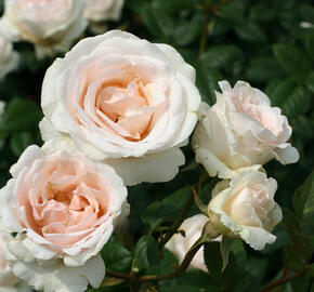 Růže velkokvětá Poulsen 'Julia Renaissance' - Rosa VK 'Julia Renaissance'