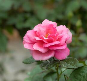 Růže velkokvětá Meilland 'Magali' - Rosa VK 'Magali'