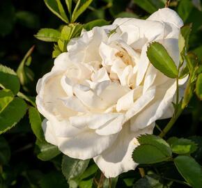 Růže parková 'J.P. Connel' - Rosa S 'J.P. Connel'
