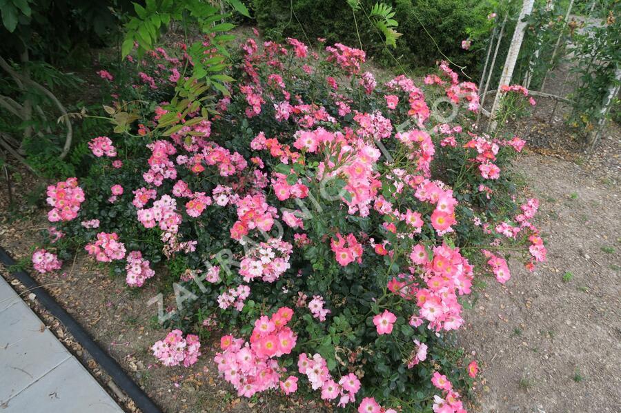 Růže mnohokvětá Meilland 'Pink Meidiland' - Rosa MK 'Pink Meidiland'