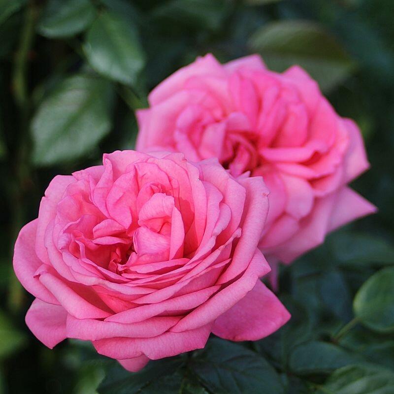 Růže velkokvětá Tantau 'Romina' - Rosa VK 'Romina'