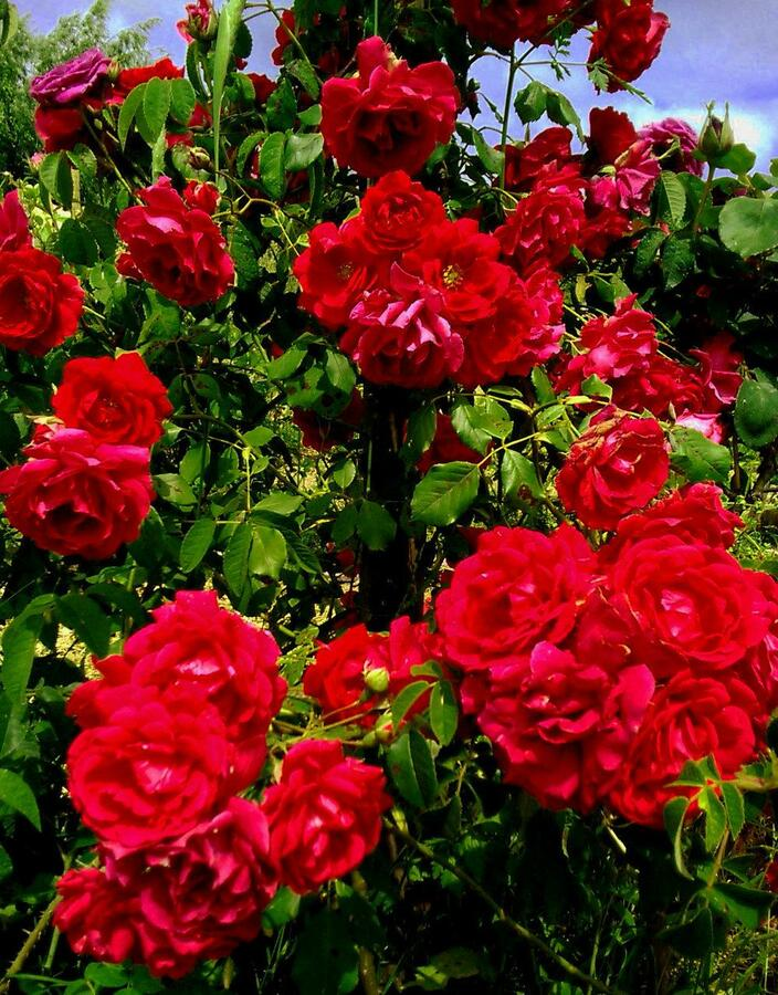 Růže pnoucí 'Blaze Superior' - Rosa PN 'Blaze Superior'