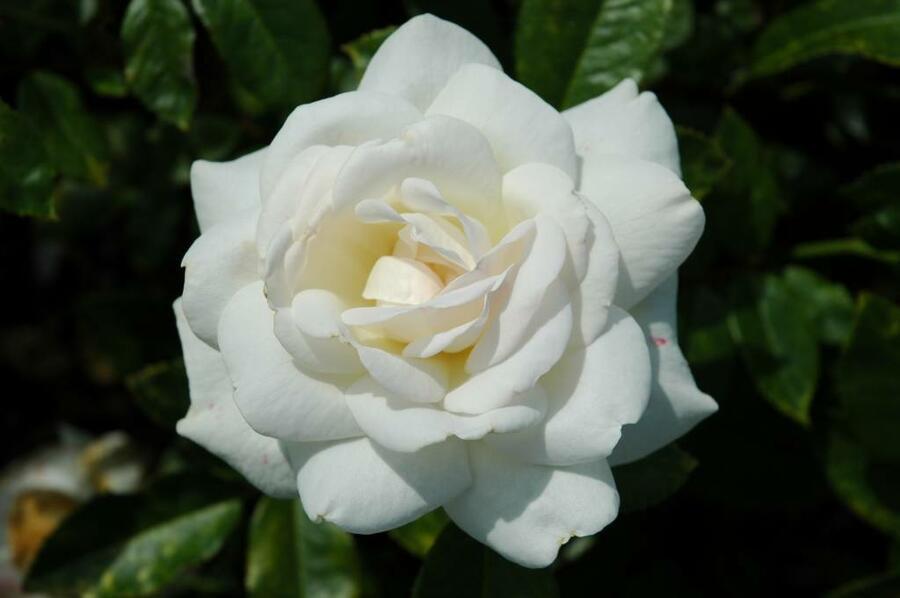 Růže velkokvětá 'Helga' - Rosa VK 'Helga'
