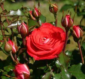 Růže mnohokvětá Kordes 'Planten un Blomen' - Rosa MK 'Planten un Blomen'