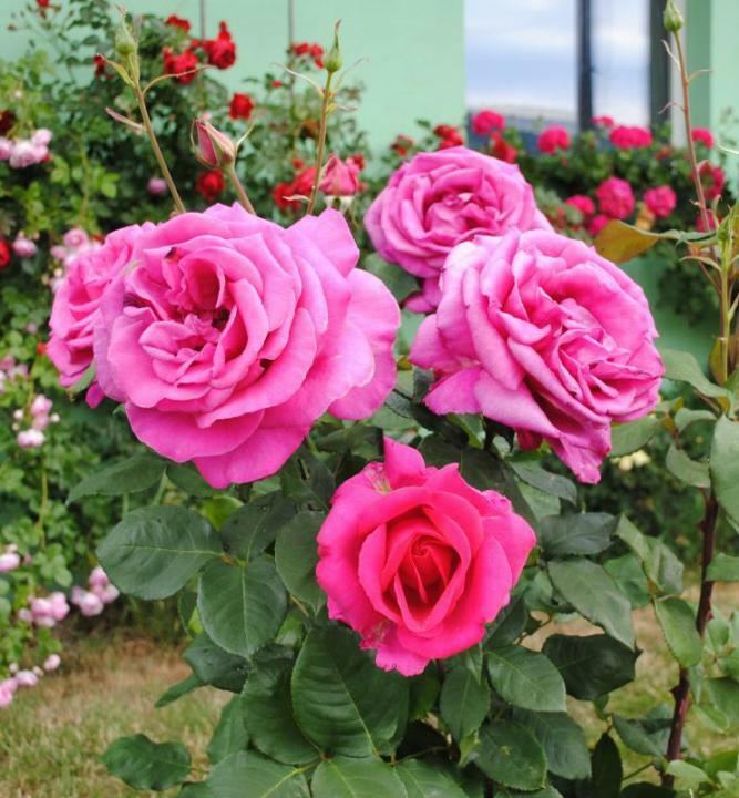 Růže velkokvětá 'Parfum Royal HT' - Rosa VK 'Parfum Royal HT'