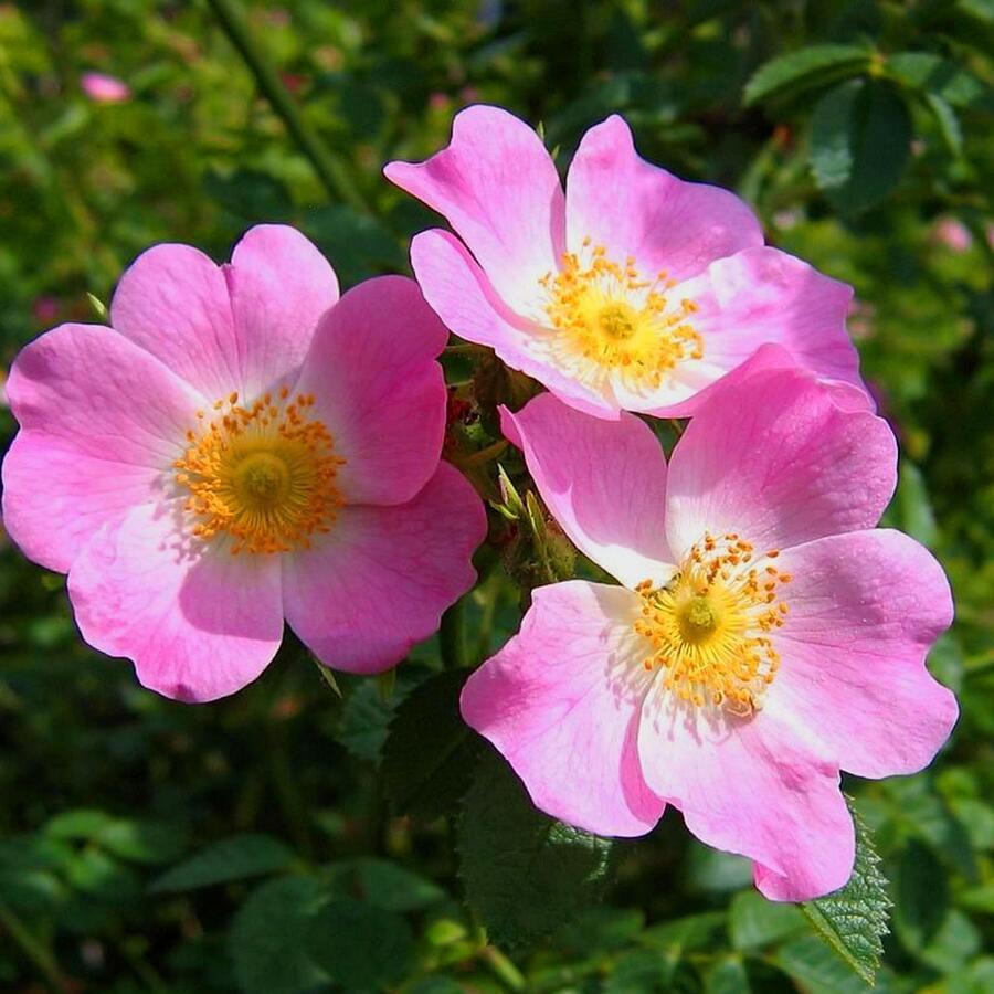 Růže mini 'Mini Pinkie' - Rosa MI 'Mini Pinkie' ('VISpanicov')