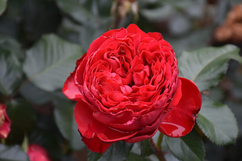 Růže velkokvětá Meilland 'Traviata' - Rosa VK 'Traviata'