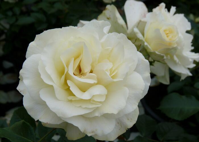 Růže mnohokvětá Meilland 'White Meilove' - Rosa MK 'White Meilove'