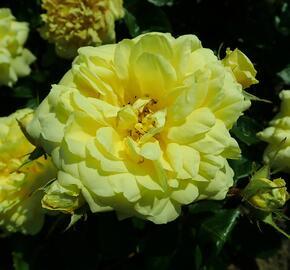 Růže mnohokvětá Meilland 'Yellow Meilove' - Rosa MK 'Yellow Meilove' ('Anny Duperey')