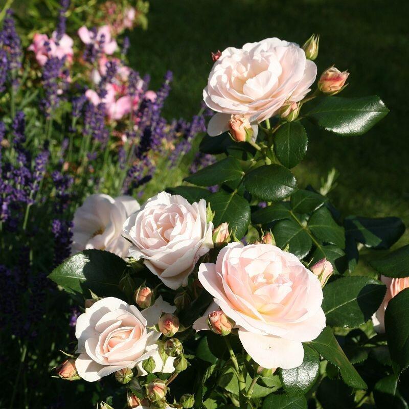 Růže mnohokvětá Tantau 'Sirius' - Rosa MK 'Sirius'