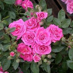 Růže mini 'Balduin' - Rosa MI 'Balduin'