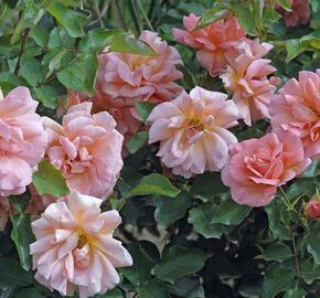 Růže mnohokvětá Meilland 'Zambra' - Rosa MK 'Zambra'