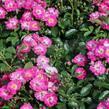 Růže mini 'Degenhardt' - Rosa MI 'Degenhardt'