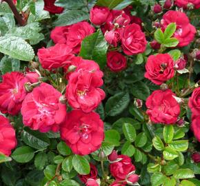 Růže mini 'Eberwein' - Rosa MI 'Eberwein'