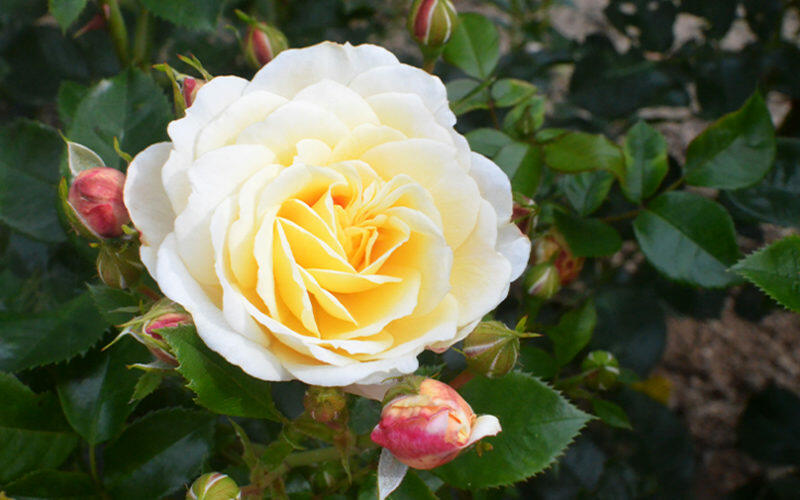 Růže mnohokvětá 'Tsarina' - Rosa MK 'Tsarina'