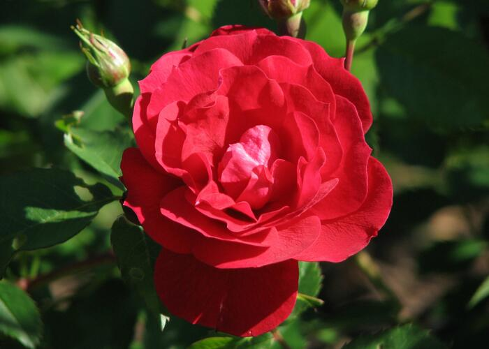 Růže mnohokvětá 'Adelaide Hoodless' - Rosa MK 'Adelaide Hoodless'