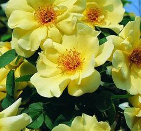 Růže parková Tantau 'Frühlingsgold' - Rosa S 'Frühlingsgold'