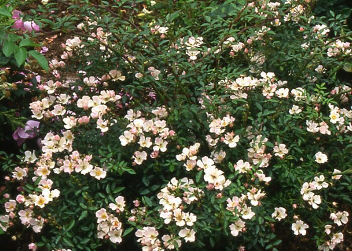 Anglická parková růže Davida Austina 'Nozomi' - Rosa S 'Nozomi'