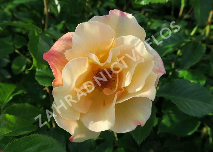 Růže pnoucí Kordes 'Moonlight' - Rosa PN 'Moonlight'