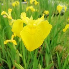 Kosatec 'Kukura' - Iris 'Kukura'