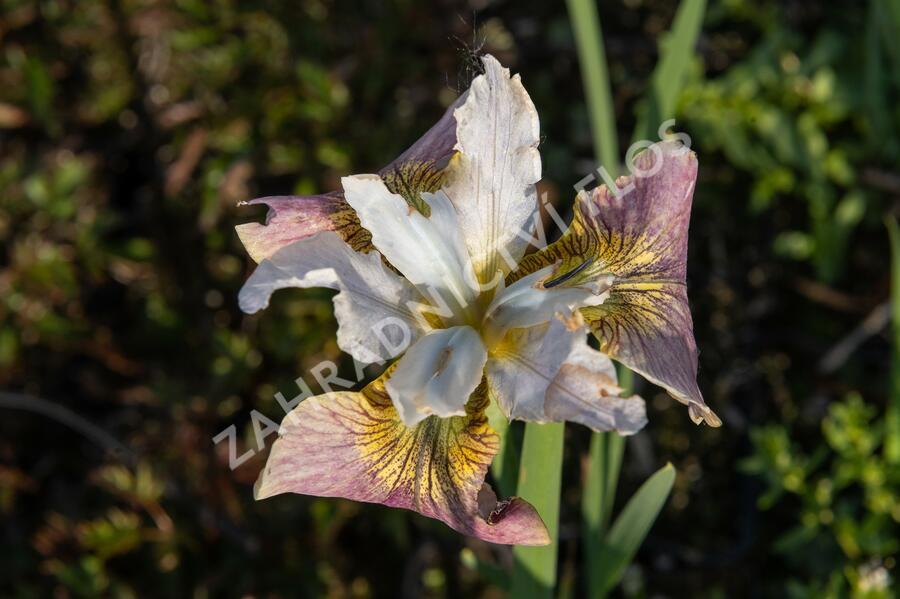 Kosatec sibiřský 'Sugar Rush' - Iris sibirica 'Sugar Rush'