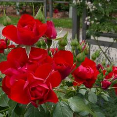 Růže mnohokvětá Kordes 'Black Forest Rose' - Rosa MK 'Black Forest Rose'