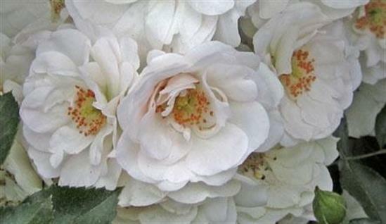 Růže mnohokvětá Meilland 'Ice Meidiland' - Rosa MK 'Ice Meidiland'