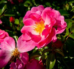 Růže mnohokvětá Meilland 'Magic Meidiland' - Rosa MK 'Magic Meidiland'
